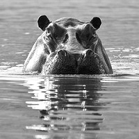 Hippo rising from the Chobe River waters