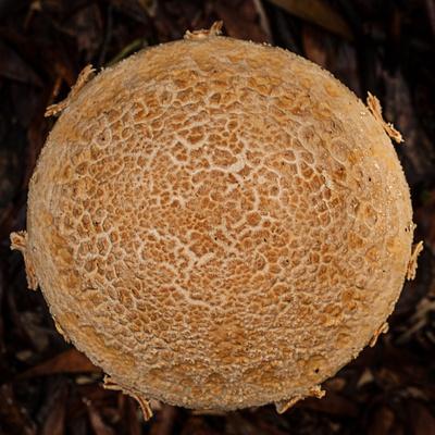 Otways Fungi